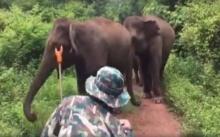 """ชมวินาที """"ช้างพังแม่เปิ้ล"""" เข้าเคลีย์โขลงช้าง ไม่ให้เข้าใกล้นักท่องเที่ยว! (คลิป)"""