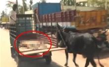 คลิปบีบหัวใจ!! แม่วัววิ่งตามรถบรรทุกของชาวบ้านแบบไม่คิดชีวิต ก่อนรู้ว่ามีอะไรอยู่ท้ายรถ? (คลิป)