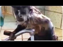 เคยเห็นไหม? ลิงอาบน้ำเอง ในอ่างน้ำ