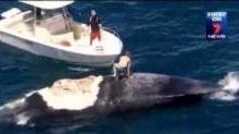 หนุ่มออสซี่สุดเกรียน โดดทะเลขี่ซากวาฬ ไม่ทันมองฝูงฉลาม!