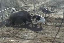 ฝึกสุนัขล่าเนื้อสุดโหด กัดไม่ปล่อย (ใจไม่แข็งห้ามดู)