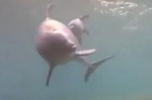โลมาคลอดลูกออกมา ว่ายน้ำตามแม่อย่างน่ารัก