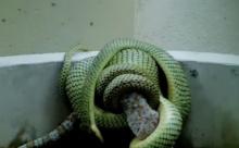 งู vs ตุ๊กแก ไฝว้กันใครชนะต้องดู!