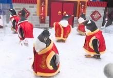 สีสันรับตรุษจีน จับแก๊งเพนกวินแต่งกี่เพ้า น่ารักสุด ๆ