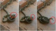 งูเขมือบหนูในบ้าน พอกินอิ่มก็เลื้อยจากไป