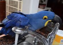 ไม่ทันใจ!! นกแก้วเปิดน้ำก๊อกอาบเองซะเลย น่ารักอ่ะ!!