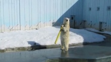 น่าร๊ากก! ชาวเน็ตแห่ชม หมีขาวเริงร่าโดดน้ำโชว์!