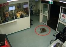 น่ารักฝุดๆ คลิปเจ้าโคอาลาเดินสำรวจโรงพยาบาล