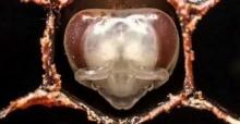 หาดูยาก มาชมวินาทีแรกของผึ้ง ตั้งแต่ตัวอ่อนยันโตเต็มวัย