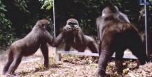 เมื่อบรรดาสัตว์ป่าเห็นตัวเองในกระจกเป็นครั้งแรก พวกมันจะมีปฏิกิริยาอย่างไร (มีคลิป)