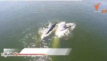 ชมคลิปชัด ๆ วาฬบรูด้าออกหากินใกล้ชายฝั่ง จ.เพชรบุรี ชัดมาก ๆ