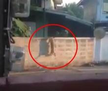 แอบถ่าย..หมานินจาโดดกำแพงเข้าบ้าน !!