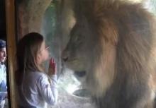 เด็กน้อยจูบสิงโตผ่านกระจก แต่ก็ต้องเหวอเพราะสิ่งที่มันทำ!!