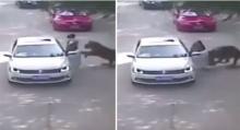 นาทีชีวิต!!! สาวจีนโดนเสือพุ่งขย้ำดับในสวนสัตว์ !!  (ชมคลิป)