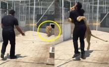 คิดถึงสุดหัวใจ!! วินาทีซึ้ง สิงโตกระโดดกอดหนุ่มที่เคยเลี้ยงดูมัน (คลิป)