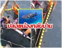 เเห่ชื่นชม! ฉลามวาฬติดอวน เจอประมงใจดีช่วยชีวิต ปล่อยคืนสู่ท้องทะเล(คลิป)