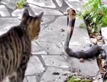 สุดโหด! ศึกไฝว้ระหว่างแมวกับงูเห่า รอบนี้ใครจะหนีก่อนกัน!