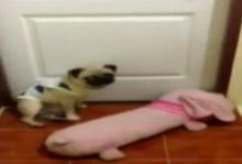 หมาปั๊กขี้งอนโดนแม่ดุ คาบหมอนไปขอนอนห้องคุณยาย