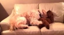 น่ารักก! หมาน้อยช่วยปลอบหมาอีกตัวที่ฝันร้าย!