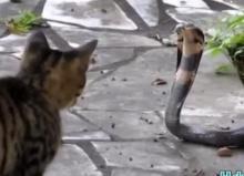 แมว ปะทะ งูเห่า ใครจะอยู่ใครจะไป??
