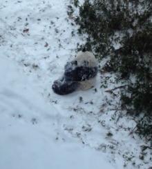 ่น่ารักอ่ะ แพนด้าตัวกลมดิ๊กกลิ้งไปมา รับหิมะแรกของปี
