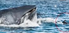 ตากล้องเฉียดตาย วาฬบรูดาซ์เกือบงาบเข้าปาก