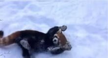 เริงร่าน่ารัก! แพนด้าแดงเล่นหิมะอย่างเพลิน