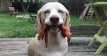 ยอมใจ!!! น้องหมาพันธุ์อึด คาบอาหารอร่อยคาปาก แต่ไม่กิน!!