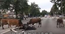 สัตว์ก็มีหัวใจ!! วัวถูกรถชนเพื่อน ๆช่วยล้อมแล้วลากตัวออกจากกลางถนน