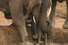 สุดประทับใจ! ลูกช้างตัวน้อย ติดโคลน นี่คือ สิ่งที่ช้างทั้งโขลงร่วมแรงร่วมใจช่วยเหลือ