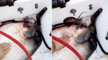 หาดูยาก!!ทำคลอดให้ปลากระเบนท้องแก่ออกลูกบนเรือ 12 ตัว