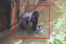 เปิดคลิปใหม่ กอริลล่าจูงเด็กก่อนถูกยิงตาย ผอ.สวนสัตว์ยันทำถูกต้องแล้ว