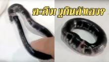 หาดูยาก! งูกินหางตัวเองเป็นวงกลม เชื่อเป็นเครื่องรางชั้นยอด แต่วิทยาศาสตร์ก็มีคำอธิบาย