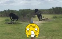 """ม้ากระทืบโรงของจริง!!! """"จ่าฝูงม้าป่า"""" กระทืบ """"จระเข้"""" อย่างดุเดือด!! สั่งสอนที่มา """"เขมือบม้า"""" ในฝูง!! (คลิป)"""