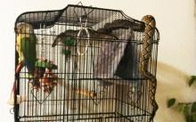 คุณแม่กรี๊ดลั่นบ้าน!! งูเหลือมบุกถึงกรง นกกลัวจนตัวแข็งทื่อ (คลิป)