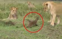 พังพอนกับราชสีห์!! เมื่อเจ้าตัวน้อยใจกล้าโผล่ท้าทายกลางวงสิงโต (คลิป)