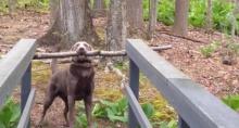 ปัญหาอันใหญ่หลวง!! เจ้าหมาคาบไม้และจะต้องข้ามสะพาน แต่ไปไม่ได้ซักที!?