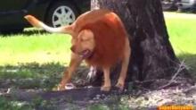 วิ่งกระจาย!! จับสุนัขปลอมเป็นสิงโต พาเดินเล่นสาธารณะ