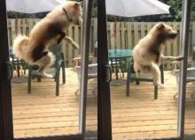 อย่างฮา! หมากระโดดกระแทกประตู เพราะอยากเข้าบ้าน