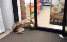 น้องหมาขาใหญ่! นอนขวางประตูเซเว่น ความฮาจึงบังเกิด!?!