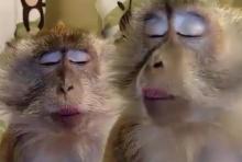 คลิปฮาๆลิงน้อยรักสวยรักงาม หวีขนจนเคลิ้มแบบนี้