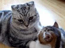 น่ารัก!! เมื่อ ลูกแมว เรียกร้องความสนใจ