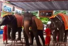 ช้างไทยเต้น กาโว กาโว น่ารักอะ