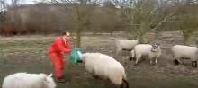 แพะโหด คนยังต้องหนี วัวกระทิงยังต้องวิ่ง ดุฝุดๆ