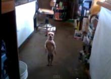 ขำกลิ้ง! หมาชิวาวา โชว์สเต็ปแดนซ์
