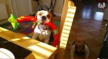 แสนรู้! เจ้าหมานำของเล่นมาแลกมาอาหารเช้า!