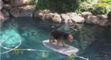 แสนรู้! น้องหมานั่งเซิร์ฟบอร์ดข้ามสระน้ำ