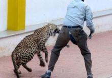 นาทีชึวิต!เสือดาวหลุดเข้าไปในโรงเรียนไล่กัดคนเจ็บ 6!!