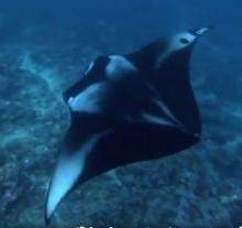 """""""ปลากระเบนแมนต้า"""" ใหญ่ยักษ์ น่ารักแค่ไหน (ชมคลิป) ไม่ร่วมปกป้อง หมดจากทะเลไทยแน่"""