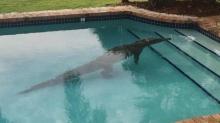 มะกันตะลึง!! จระเข้ลงเล่นสระว่ายน้ำในบ้าน